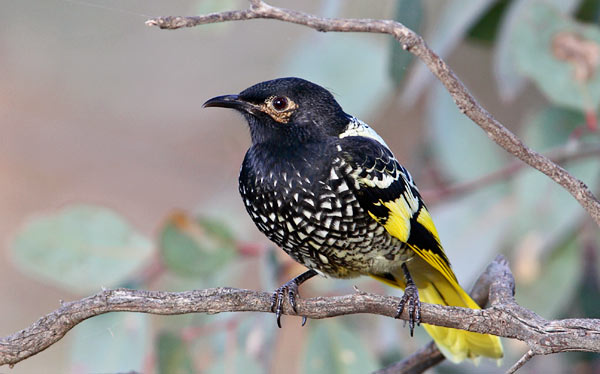 Regent honeyeater_The Melbourne Local